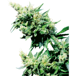 HASH PLANT REGULAR (10)