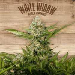 WHITE WIDOW (3)