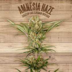 AMNESIA HAZE (3)