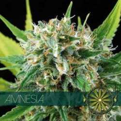 AMNESIA (3)