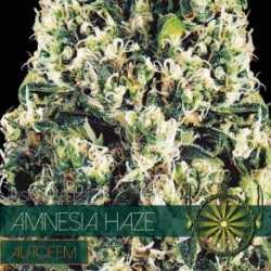AMNESIA HAZE (10) AUTO
