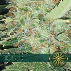 BIG BUD (3)