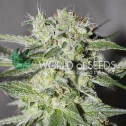 Cheese Berry 5 Fem. 00 Seeds