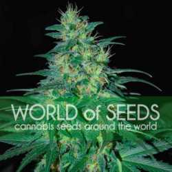 White Widow 5 Fem. 00 Seeds