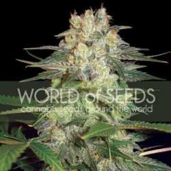 Sweet Critical 5 Fem. 00 Seeds