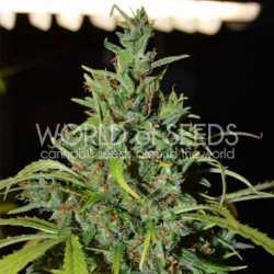 00 Skunk 5 Fem. 00 Seeds