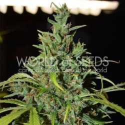 Critical Poison Fast Version 5 Fem. 00 Seeds