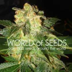Auto Afghan Mass XXL 5 Fem. 00 Seeds