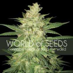 Northern Lights 5 Fem. 00 Seeds